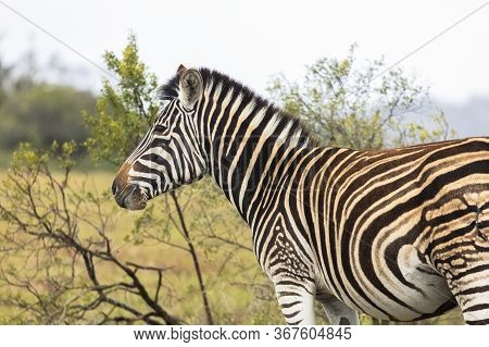 Head And Shoulders Shot Of A Solitary Zebra In An Open Area In South Africa
