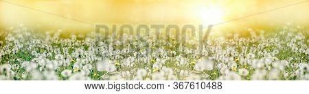 Dandelion Seed, Fluffy Blow Ball, Sunset In Meadow Of Dandelion Seeds Lit By Sunlight, Beautiful Nat