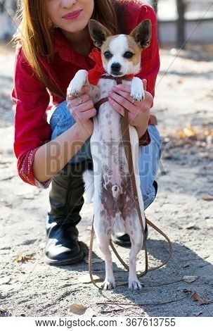 Portrait Of Beautiful Small Dog Toy Terrier In Girl Owner Hands During Walk Outside