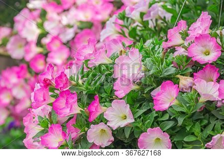 Petunia Deep Blue-violet Are Blooming And Prolific Flowering Consistently All Summer, Nature Photos.