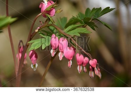 Blooming Dainty Pink Bleedingheart Plant In The Spring.