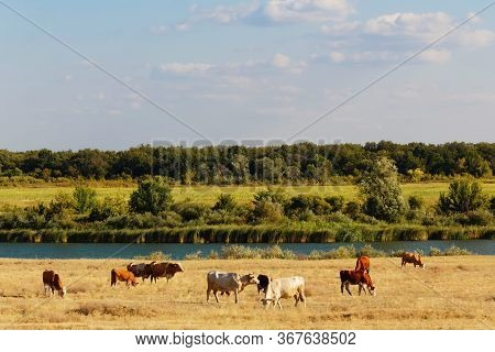 Cows Graze In The Steppe. Cows In The Pasture. Landscape Russia, Saratov Region, Bolshoy Irgiz.