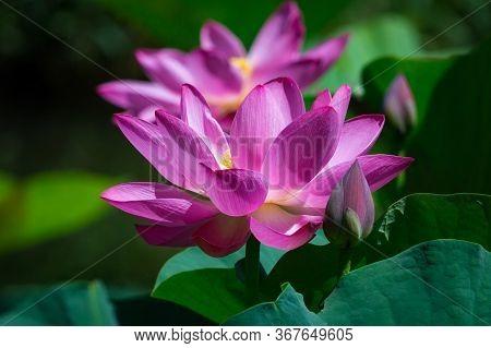 Close-up Of Beautiful Pink Waterlily Lotus Flower, Nature Stock Photo