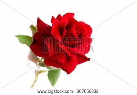 Red Rose With Water Drops Isolated On White Background.