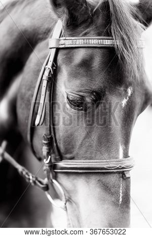 Beautiful Portrait Of  Horse With Bridle. Black White.
