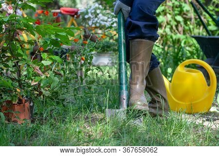 Gardener Digging In A Garden With A Spade. Preparing Soil By Digging Over With A Garden Spade.