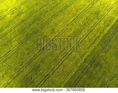 Top View Of A Field Of Blooming Rapeseed. Yellow Field Of Rapeseed. Photo From A Quadrocopter. Patte