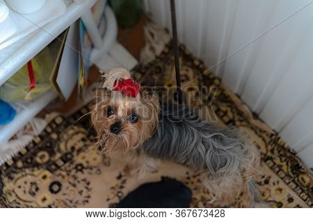 Yorkshire Terrier. Dog At Home.yorkshire Terrier. Dog At Home