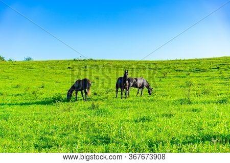 Horses Graze On The Grass.horses Graze On The Grass