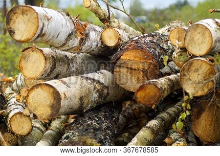 Cut Trunks Of Birch Trees Are Stacked In Bulk.\\nlog Trunk, Logging, Forest Industry. Stacking Logs.