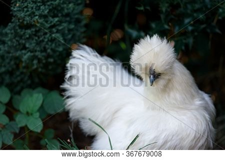 A Pure Bred Silkie Chicken Amongst Foliage In The Shade