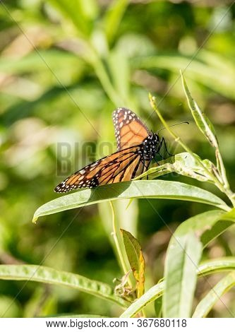 Monarch Butterfly, Danaus Plexippus, In A Butterfly Garden On A Flower In Spring In Southern Califor
