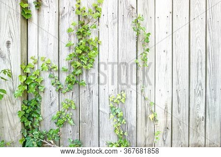 Ivy Climbing Up A Wooden Fence In Spring; Green Leaves Against A Light Wooden Plank; Vertical