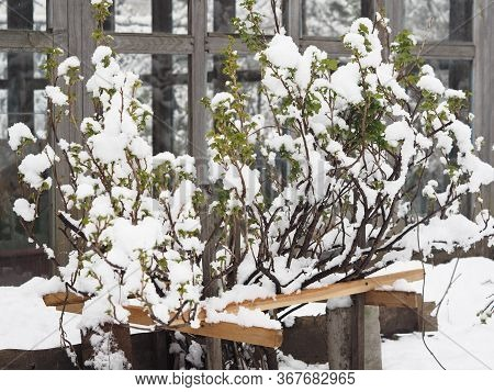 Natural Phenomenon. Spring Snow Fell On Green Leaves. Currant Bush In The Snow.