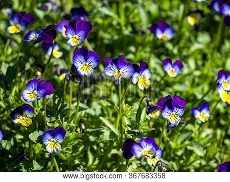 Blooms Violet Tricolor, A Plant With The Latin Name Viola Tricolor, A Plant With Medicinal Propertie