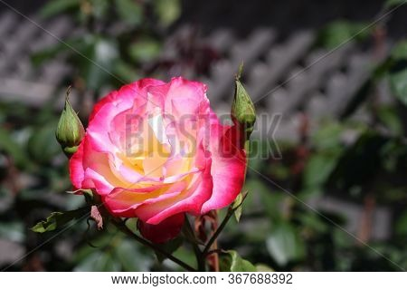 This Is A Close Up Image Of A Rose Taken In May In Carmel, California.