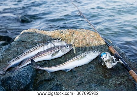 Caught pollock fish and fishing rod lie on stone