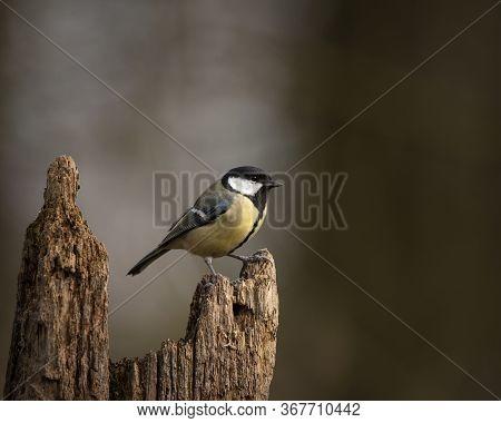 Beautiul Great Tit Bird Parus Major On Branch In Spring Sunshine In Garden