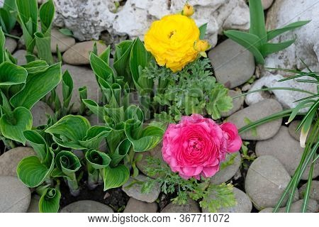 Ranunculus Crowfoot In Landscape Design. Multicolored Flowers And Stones Are An Option For Decoratin