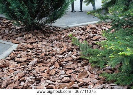 Pine Chips To Decorate Flower Beds In A City Park. Landscaping. Mulching The Bark Of A Pine Plot Wit