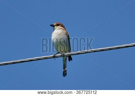 Bird - Red-backed Shrike ( Lanius Collurio ) Female Sitting On A Metal Wire And Resting. Sunny Summe