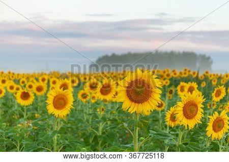 Sunrise Over The Field Of Sunflowers, Selective Focus