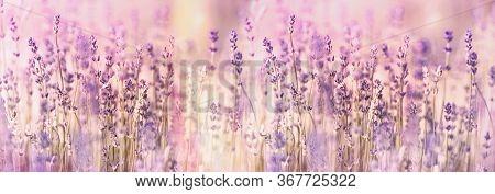Flowering Lavender Flower, Lavender Flowers Lit By Sunlight In Flower Garden