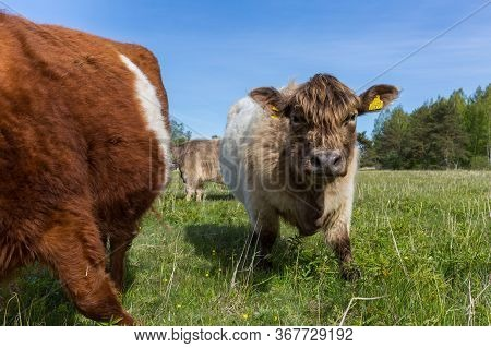 City Bolderaja, Latvia. Scottish Longhaired Cows Graze In A Meadow.