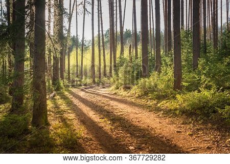 Forest Trail In Coniferous Forest With Sunlight On A Summer Evening