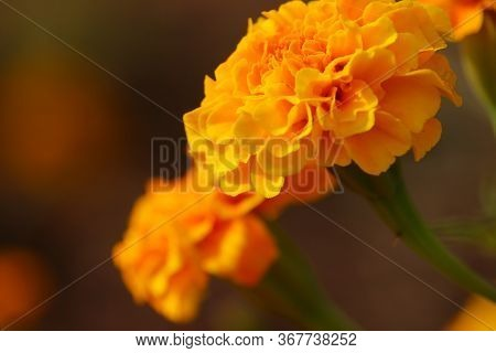 Macro Shot Of Marigold Flower Head With Blur Background,marigold Flower, Lots Of Beautiful Spring Ma