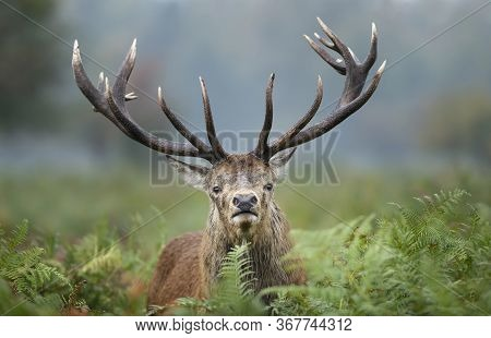 Close-up Of A Red Deer Stag During Rutting Season In Autumn, Uk.