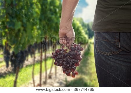 Man Holding Fresh Picked Red Seedless Grapes Outdoors In A Vineyard