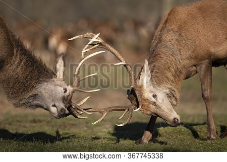 Close Up Of Two Red Deer Fighting During The Rutting Season In Uk.