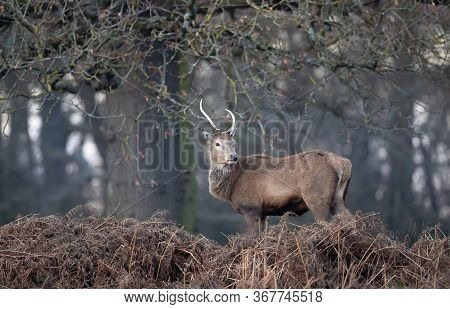 Close-up Of A Young Red Deer Stag Standing In Ferns Against Trees During Rutting Season In Uk.
