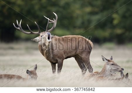 Close-up Of A Red Deer Stag Calling Close To The Hinds During Rutting Season In Autumn, Uk.