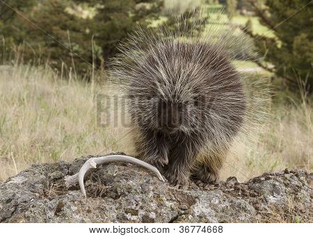 A large porcupine lumbers across a rock to reach a deer antler poster