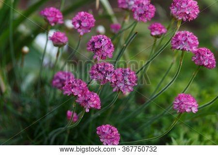 Beautiful Pink Magenta Sea Thrift Armeria Maritima Flowers In Summer Garden