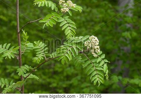 Rowan Ash Or Sorbus Aucuparia With Clusters Of White Buds In A Forest In Springtime