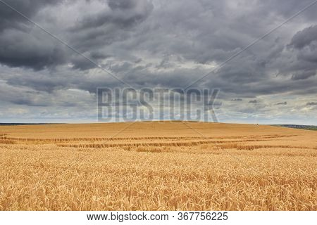 Wheat Field And Storm Clouds, On The Hill The Wheat Has Ripened With Black Storm Clouds, Bent And Th