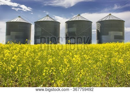 Large Metal Grain Silos On A Canola Field Of The Canadian Prairies In Alberta Canada Highlighting Th