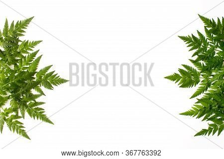 Fern Green Leaves Isolated On White Background Top View With Copy Space. Floral Nature Flat Lay. Eco