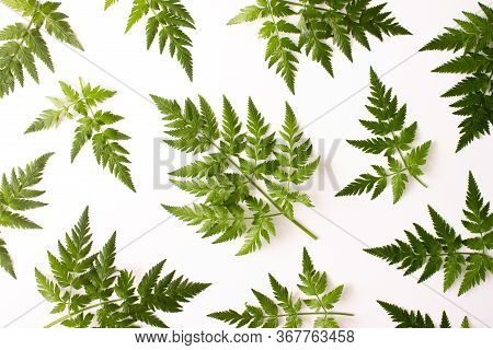 Pattern With Fern Green Leaves Isolated On White Background Top View. Floral Nature Flat Lay. Foliag