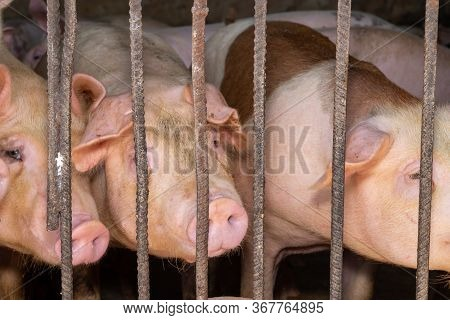 Group Of Pig That Looks Healthy In Local Asean Swine Farm At Livestock. The Concept Of Standardized
