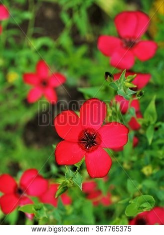 Horizontal Image Of A Beautiful Red Blooming Adonis Flower