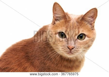 Red Cat Carefully And Warily Looks Directly At The Camera. The Cat Is Isolated On A White Background