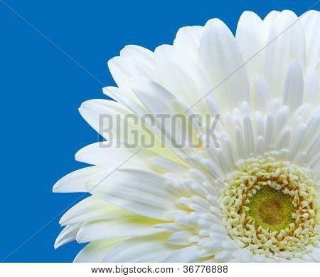bright flowers. Gerbera