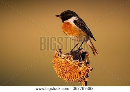 Little European Stonechat Male Sitting On A Dry Sunflower In Morning Light