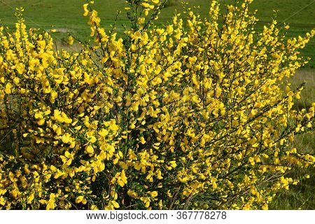 Cytisus Scoparius, Common Broom Or Scotch Broom Yellow Flowers Closeup Selective Focus.