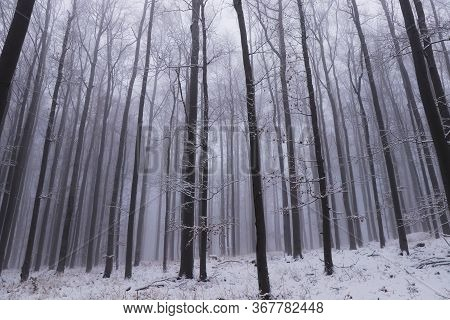 View Of A Winter Oak Forest That Plunges Into The White Darkness. On The Top Of Prasiva Mountain, Cz