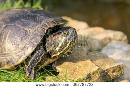Red Eared Slider Turtle Pet In Garden Pond On Rocks. Adult Pet Turtle Outdoors In Summer.